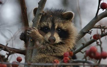 tree, muzzle, branches, look, berries, animal, raccoon