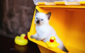 background, cat, look, kitty, toys, face, blue eyes, ducklings, siamese, container, ragdoll