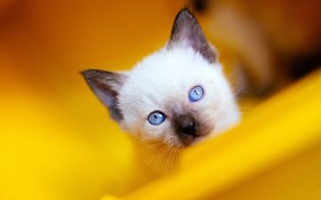 фон, кошка, взгляд, котенок, мордашка, голубые глаза, сиамский, голубоглазый, рэгдолл