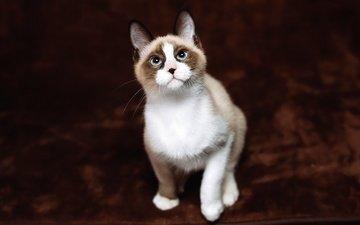фон, кот, кошка, взгляд, котенок, сидит, мордашка, голубые глаза, рэгдолл