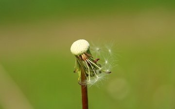 фон, цветок, одуванчик, семена, пушинки, былинки