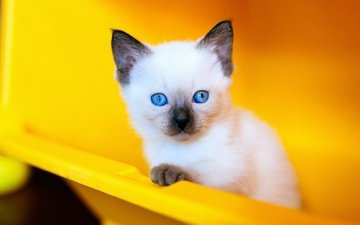 background, portrait, cat, look, kitty, face, blue eyes, plastic, siamese, blue-eyed, container, ragdoll