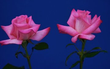 цветы, листья, фон, розы, лепестки, дуэт