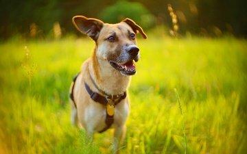 трава, фон, собака, друг
