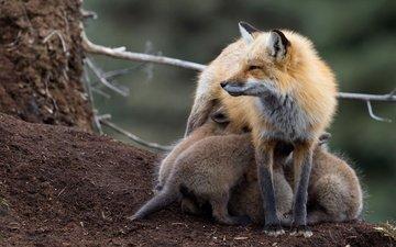 фон, животные, лиса, лисица, дикая природа, детеныши, мать, лисенок, лисята, кормление, грудное вскармливание