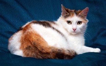 глаза, фон, кот, кошка, взгляд, котенок, лежит, ткань, хвост
