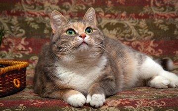 глаза, фон, кот, мордочка, кошка, взгляд, лежит, корзинка, покрывало