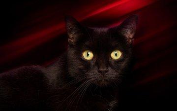 глаза, фон, кот, мордочка, усы, кошка, взгляд, черный