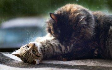 глаза, кошка, котенок, лежит, окно, кошки, забота