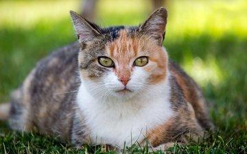 глаза, трава, кот, мордочка, усы, кошка, взгляд, лужайка