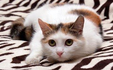 глаза, кот, мордочка, усы, кошка, взгляд, котенок, мордашка