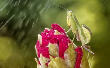 eyes, macro, insect, flower, drops, bud, rain, mantis