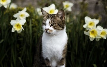 eyes, face, flowers, nature, cat, muzzle, mustache, look, spring, daffodils, flowerbed