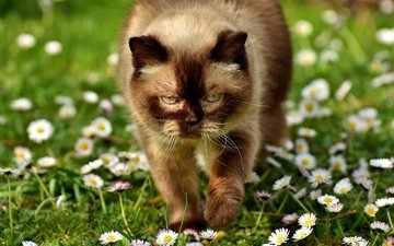eyes, face, flowers, greens, cat, summer, look, glade, chamomile, lawn, british shorthair