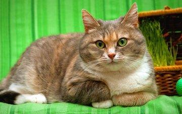 глаза, морда, кот, мордочка, усы, кошка, взгляд, зеленый фон, корзинка