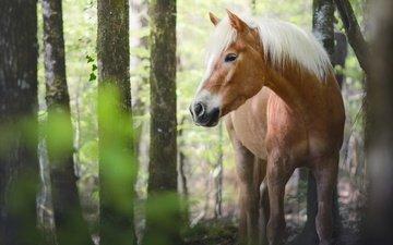 глаза, морда, лошадь, деревья, природа, лес, листья, стволы, лето, взгляд, конь