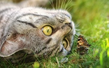 eyes, face, grass, cat, muzzle, mustache, look, butterfly, spring, the game