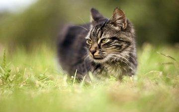 глаза, морда, трава, природа, фон, кот, мордочка, усы, кошка, взгляд, луг