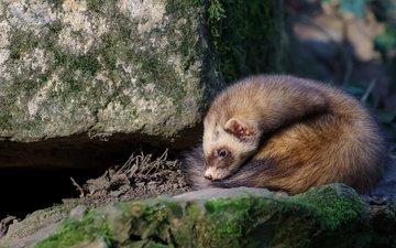 stones, animals, fur, wildlife, rodent, ferret