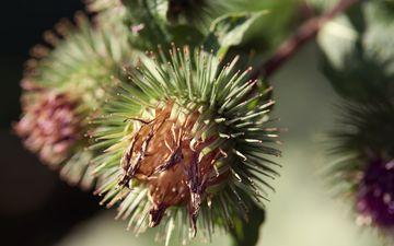 колючки, растение, соцветия, чертополох