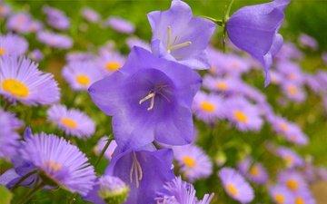 цветы, колокольчики, маргаритки, фиолетовые цветы