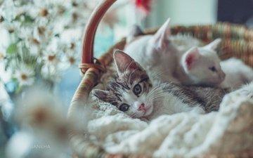 мордочка, усы, взгляд, корзина, кошки, малыши, котята