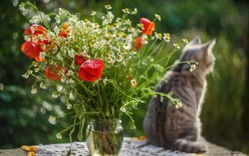 flowers, cat, table, maki, chamomile, bouquet
