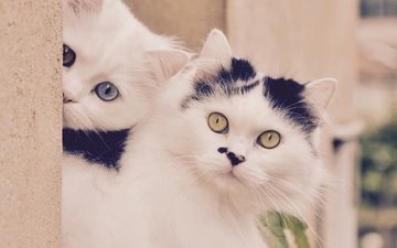 mustache, cat, look, kitty, cats, faces