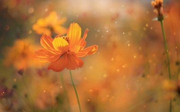 flowers, petals, glare, spring, stems, kosmeya, zwei