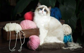 кот, кошка, взгляд, голубые глаза, клубки, нитки, ящик, комод, пряжа, рэгдолл