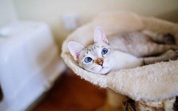 кот, кошка, взгляд, комната, голубые глаза, уют