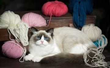 кот, кошка, взгляд, лежит, голубые глаза, клубки, нитки, ящик, комод, пряжа, рэгдолл