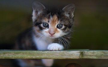 кот, мордочка, доска, кошка, взгляд, котенок, малыш