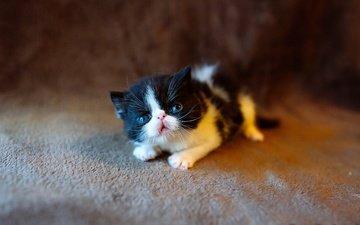 кот, мордочка, усы, кошка, взгляд, котенок, лежит, малыш