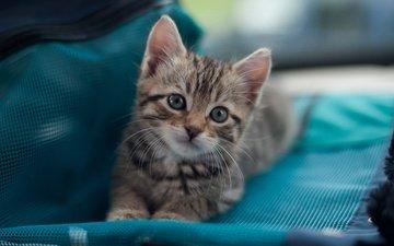 кот, мордочка, кошка, взгляд, котенок, маленький, лежит, ткань, сумка