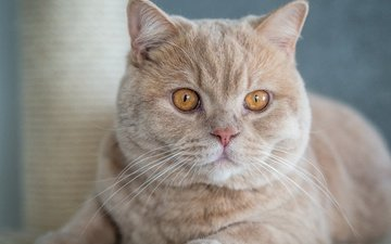 cat, muzzle, mustache, look, british shorthair