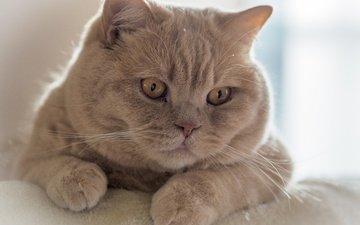 кот, мордочка, усы, кошка, взгляд, британская короткошерстная