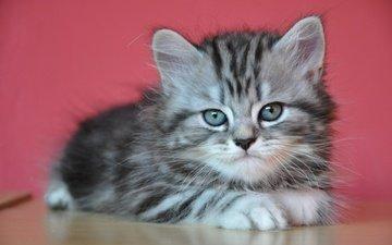 кот, мордочка, усы, кошка, взгляд, котенок, серый, милый