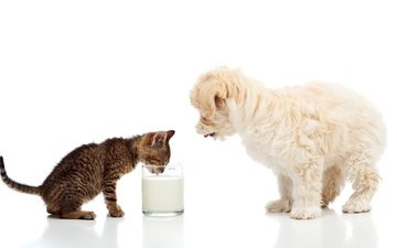 cat, kitty, dog, puppy, white background, glass, milk, lapdog, maltese
