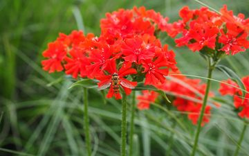 flowers, insect, red, fly, clove, lychnis chalcedony