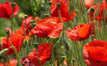 цветы, лепестки, красные, маки, луг, стебли