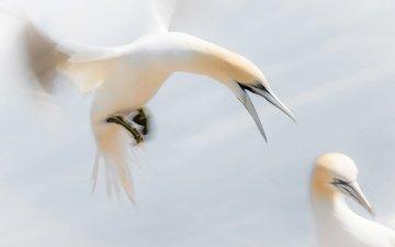 wings, birds, bird, beak, gannet, the northern gannet