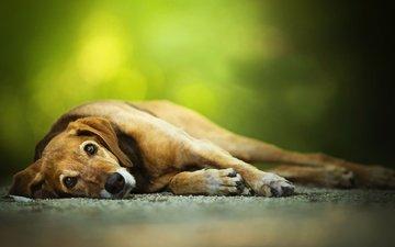 глаза, лапы, взгляд, друг, пес