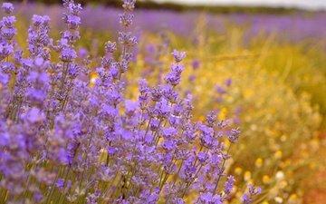 flowers, field, lavender, purple flowers
