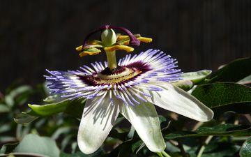 фон, цветок, лепестки, растение, пассифлора
