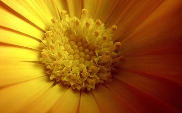 yellow, flower, petals, spring, calendula, closeup