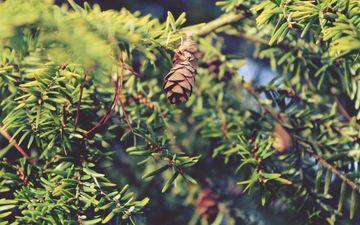природа, дерево, лес, хвоя, ветки, шишки, иголки