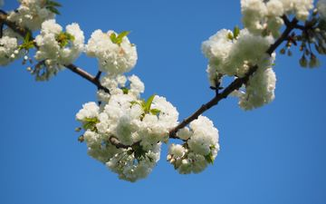 небо, цветы, ветка, природа, цветение, весна