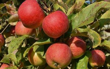 листья, лето, фрукты, яблоки, красные, плоды