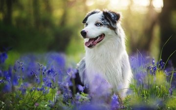 flowers, summer, look, dog, each, language, australian shepherd